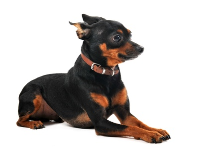 portrait of a purebred miniature pinscher on a white background photo