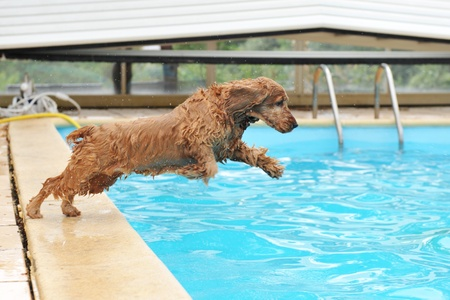 dog toy: purebred english cocker swimming in a swimming pool