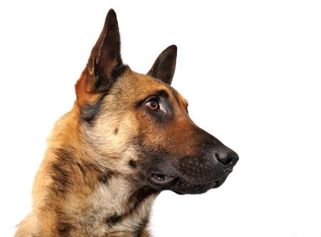purebred belgian sheepdgog malinois on a white background