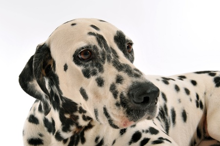 portrait of a purebred dalmatian laid down on a white background photo