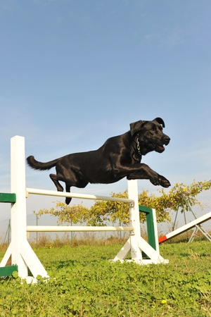 purebred labrador retriever jumping in a training of agility photo