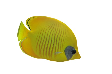 chaetodon: Masked butterflyfish (chaetodon larvatus) in front of white background Stock Photo
