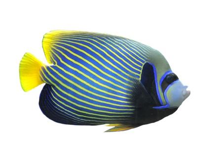 pomacanthus imperator: Angelfish imperatore (Pomacanthus imperator) isolata su sfondo bianco  Archivio Fotografico