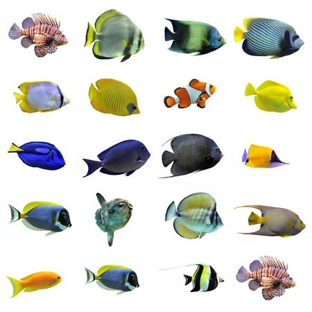 pez pecera: Grupo de peces sobre un fondo blanco
