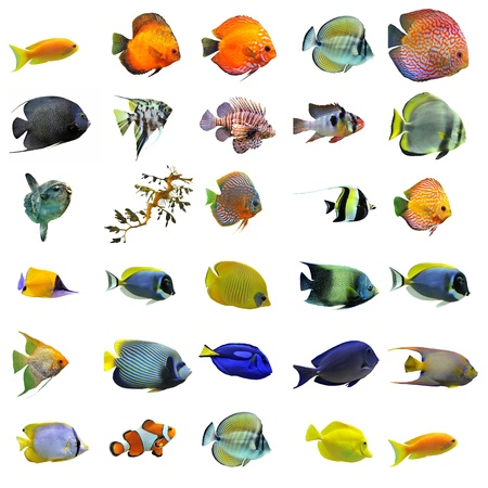 discus fish: group of fishes on a white background Stock Photo