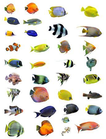 pez payaso: Grupo de peces sobre un fondo blanco