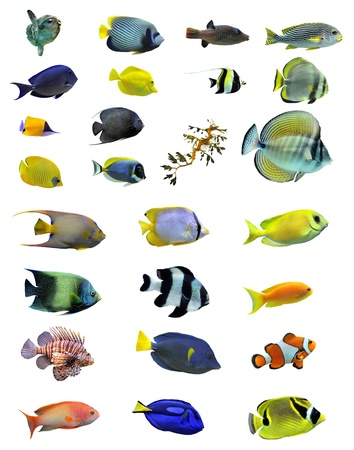 zanclus cornutus: group of saltwater fishes on a white background