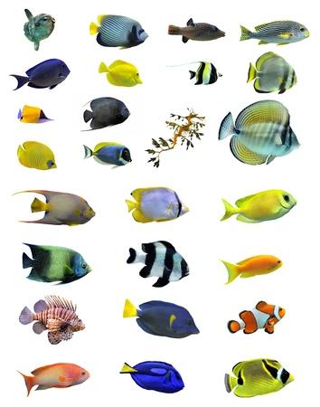 pomacanthus imperator: gruppo di pesci d'acqua salata su sfondo bianco