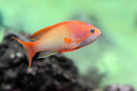 anthias fish: orange Anthias fish in a natural background