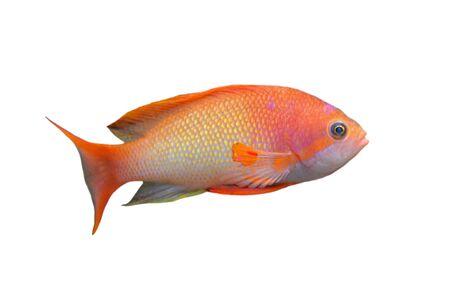 orange Anthias fish in front of white background Stock Photo - 9134064