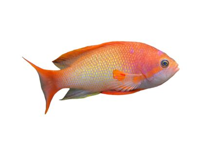 anthias fish: orange Anthias fish in front of white background