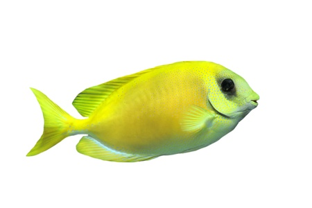 rabbitfish: Coral rabbitfish (siganus corallinus) in front of white background