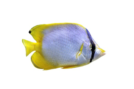 chaetodon ocellatus or spotfin butterflyfish in front of white background Stock Photo