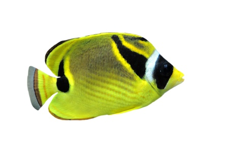 chaetodon: raccoon butterflyfish (chaetodon lunula) in front of white background Stock Photo