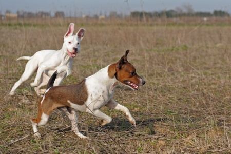 a jack russel terrier and a puppy argentinian dog playing, focus on the jack russel terrier photo