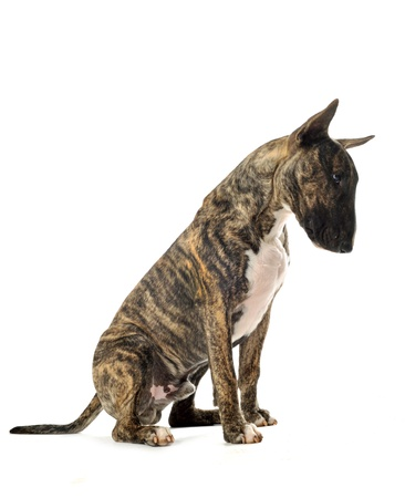bull terrier: portrait of a purebred brown bull terrier in front of white background