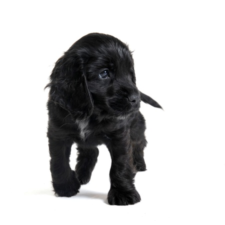 portrait of a  purebred puppy english cocker in a studio photo