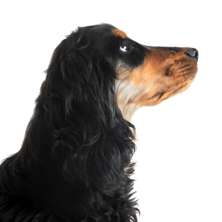 profil: portrait of a  purebred english cocker in a studio