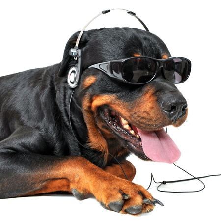 portrait of a purebred rottweiler with sunglasses and music in front of white background photo