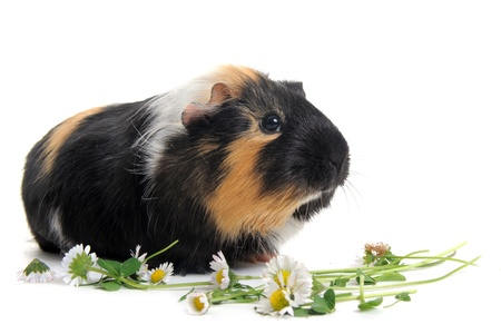 portrait of guinea pig in front of white background Stock Photo - 9271658