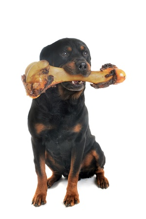 portrait of a purebred rottweiler with bone in front of white background