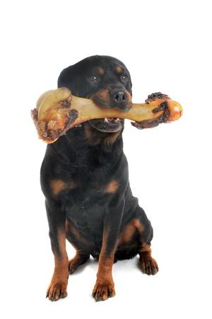 perro comiendo: Retrato de un pura raza rottweiler con hueso de fondo blanco