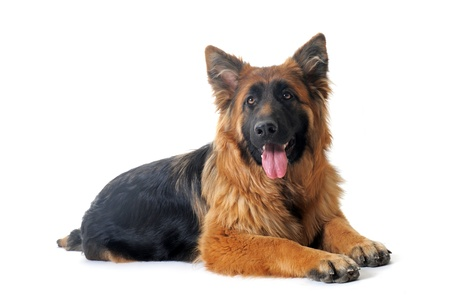 portrait of a  purebred german shepherd in front of white background photo