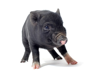 chinese pig: little black piggy in front of white background