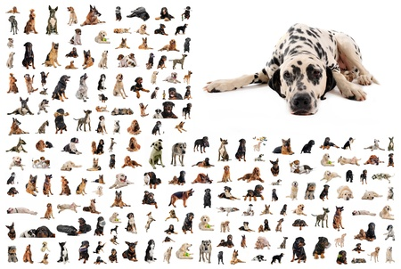 composite picture with dalmatian purebred  dogs in a white background photo