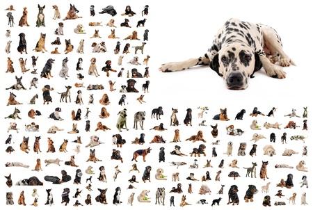 dalmatier: samengestelde afbeelding met Dalmatische rasechte honden in een witte achtergrond Stockfoto