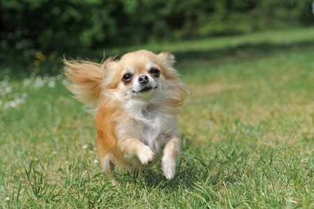 chihuahua dog: portrait of a cute purebred   chihuahua running in a field Stock Photo