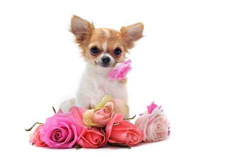 chihuahua pup: portrait of a cute purebred  puppy chihuahua withe roses in front of white background