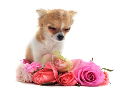 funeral background: portrait of a sad purebred  puppy chihuahua with roses in front of white background Stock Photo