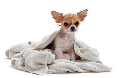 Retrato de un chihuahua húmedo cachorro de raza pura de fondo blanco
