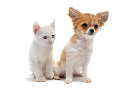 portrait of a cute purebred  puppy chihuahua and white kitten in front of white background photo