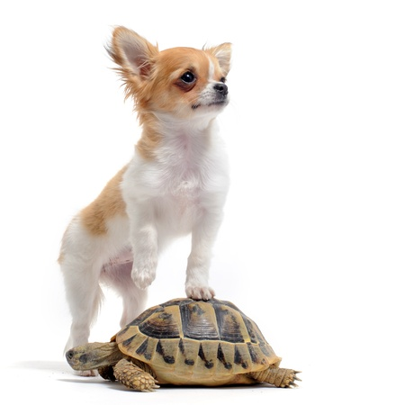 chihuahua pup: portrait of a cute purebred  puppy chihuahua and turtle in front of white background