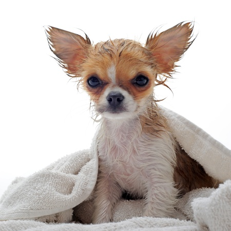 wet: portrait of a wet purebred  puppy chihuahua in front of white background