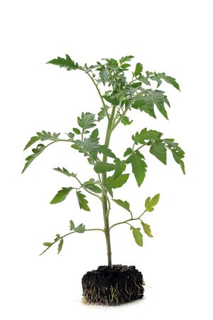Tomato seedling in front of white background photo