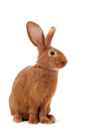 jeune lapin Fauve de Bourgogne, assis devant un fond blanc