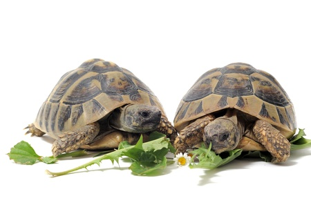 Two Testudo hermanni tortoises eating on a white isolated background photo