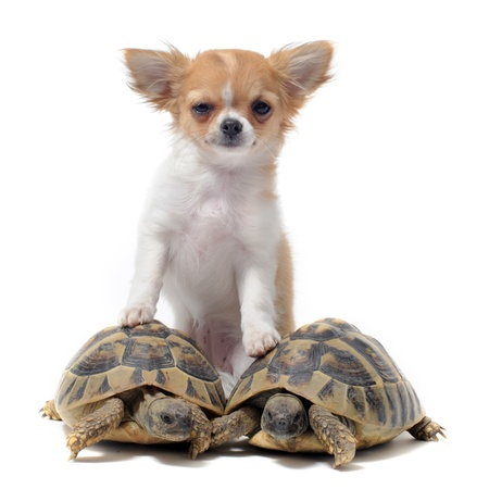 portrait of a cute purebred  puppy chihuahua and turtles in front of white background Stock Photo - 9622048
