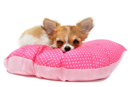 beautiful bed: portrait of a cute purebred  puppy chihuahua in front of white background