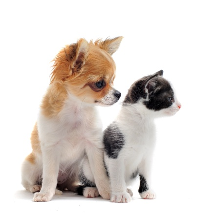 puppy and kitten: portrait of a cute purebred  puppy chihuahua with black and white kitten in front of white background