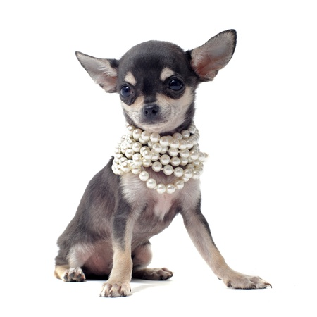 portrait of a cute purebred puppy chihuahua with pearl collar in front of white background photo
