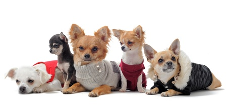 overcoat: group of chihuahua dressed in front of white background