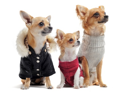 miniature dog: group of chihuahua dressed in front of white background