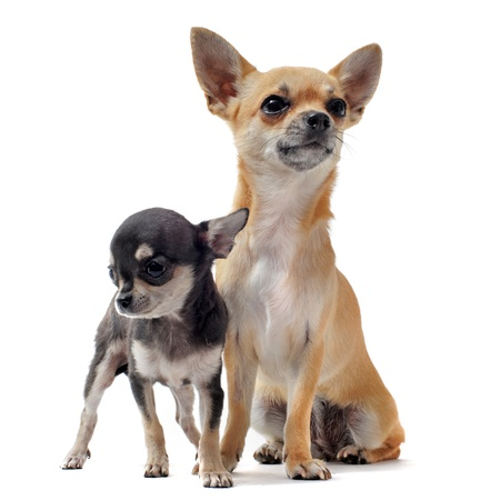 purebred: portrait of a cute purebred  puppy chihuahua  and his mother in front of white background