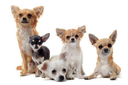 long hair chihuahua: group of chihuahua  in front of white background