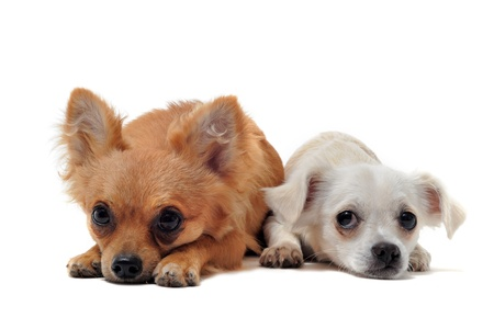 portrait of a couple of purebred  chihuahua in front of white background photo
