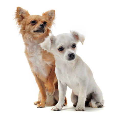 portrait of two purebred  chihuahua in front of white background photo